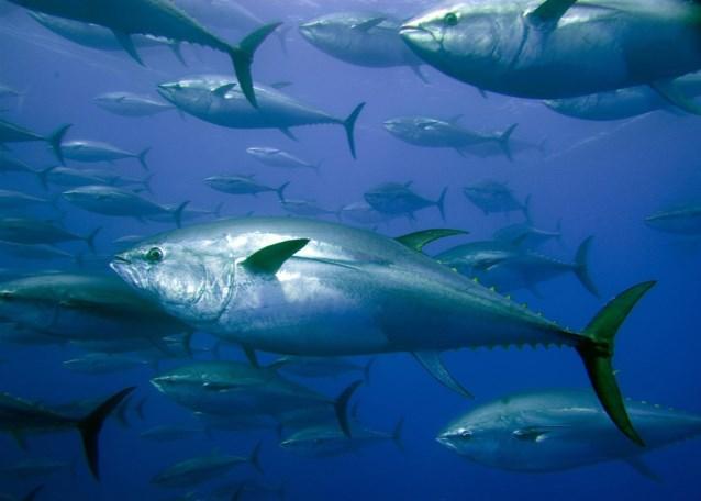 سمكة التونة