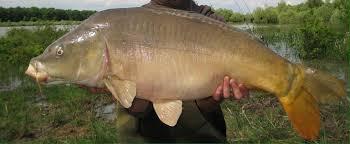 سمكة الكارب أو المبروكة